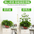 初捨植物緑植固定器緑色のロサンゼルス家庭用無跡よじ登る藤ツルフックカードのバックルは室内の緑ニンジンのステルス色(トランペット50個)を挟みます。